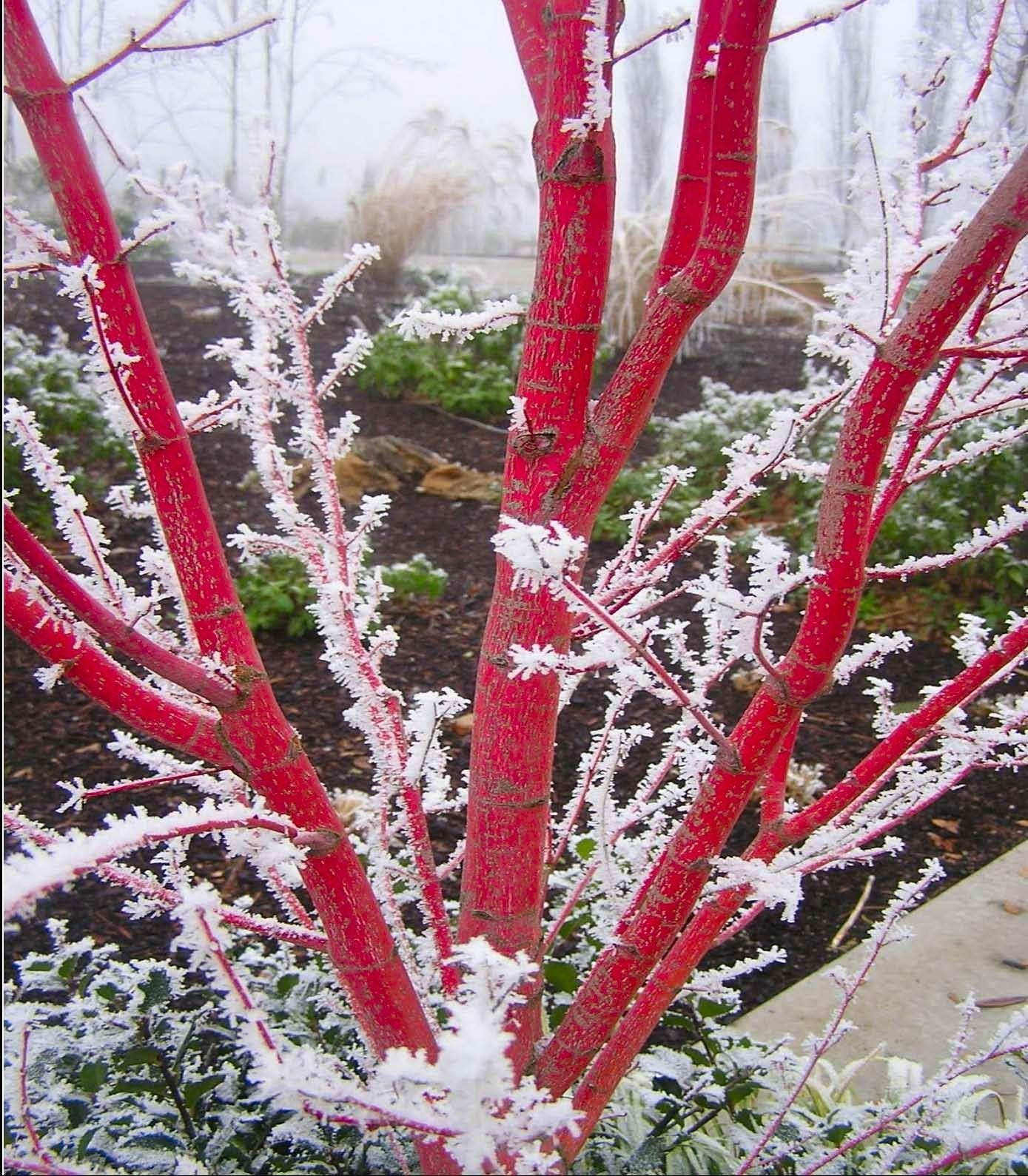 Coral Bark Japanese Maple Image courtesy of GardenGoodsDirect.com
