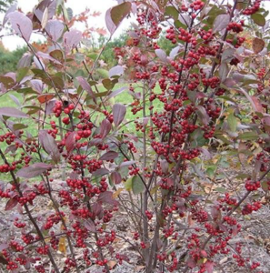 Red Chokeberry From NatureHills.com