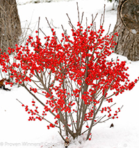 Winter Berries from ProvenWinner.com